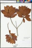 Myrica caroliniensis image