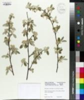 Image of Elaeagnus viridis