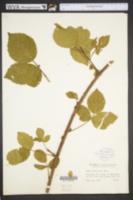 Image of Rubus boyntonii