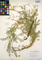 Astragalus congdonii image