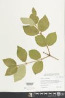 Viburnum carlesii image