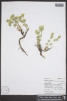 Linanthus nuttallii subsp. nuttallii image