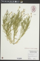Image of Isotoma axillaris