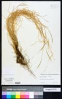 Aegilops bicornis image