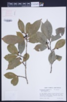 Erythroxylum squamatum image