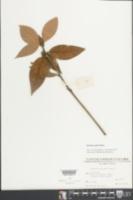 Machilus grijsii image