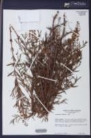 Lysimachia loomisii image