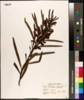 Acacia intertexta image
