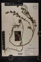Polygonum erectum image