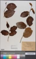 Antidesma platyphyllum image