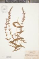 Lythrum salicaria image