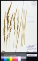 Stipa diegoensis image