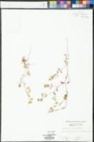 Chamaesyce cumulicola image