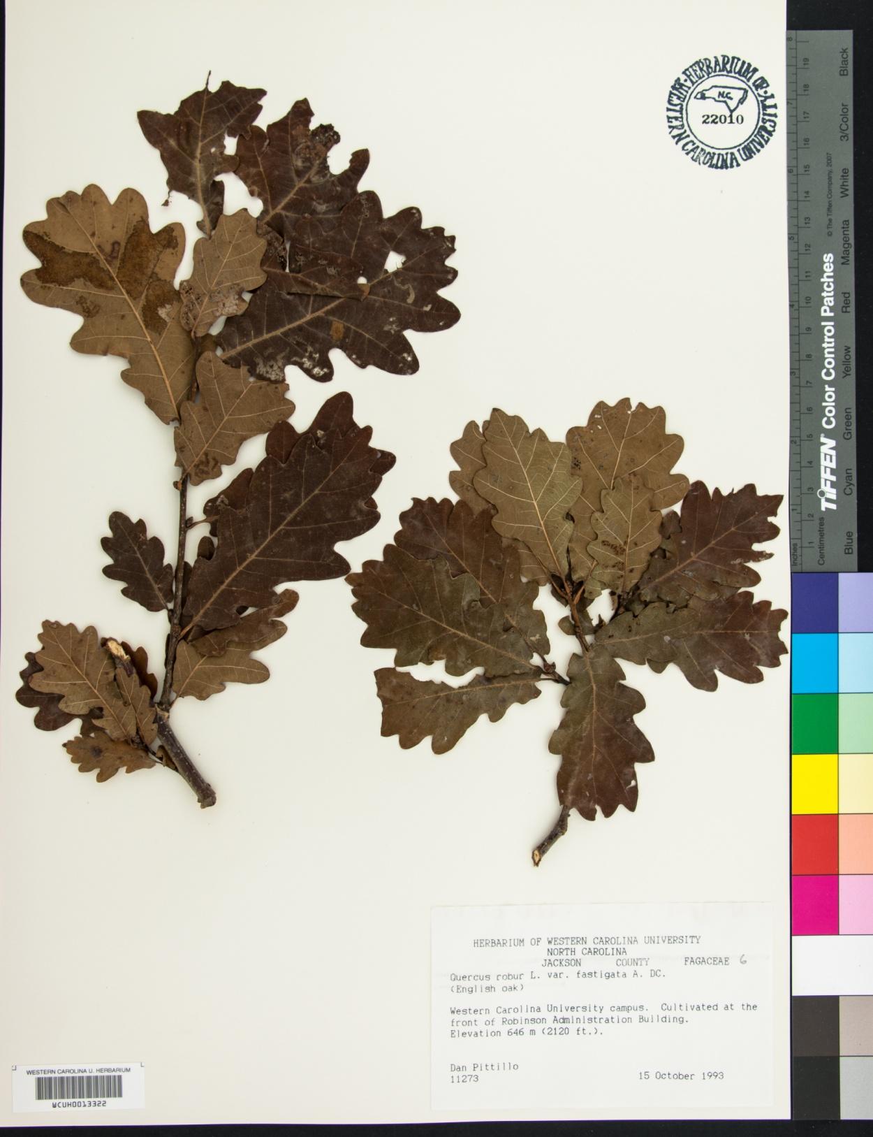 Quercus robur f. fastigiata image