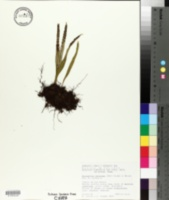 Image of Pleopeltis mexicana