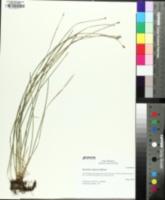 Eleocharis compressa image