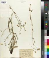 Image of Hackelia diffusa