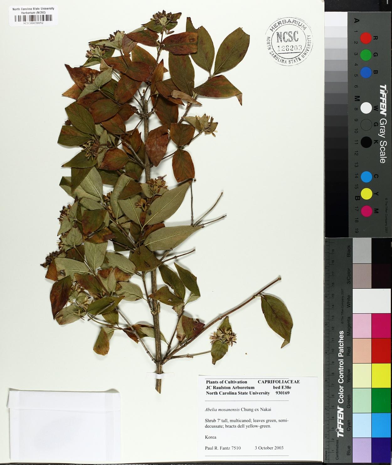 Abelia mosanensis image