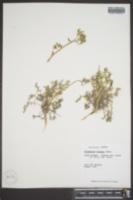 Polemonium boreale image