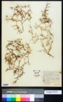Image of Spergularia canadensis