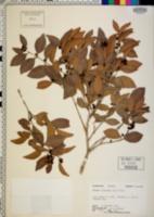 Eugenia axillaris image