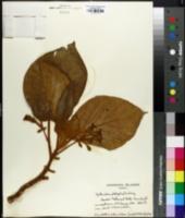 Cyrtandra platyphylla image