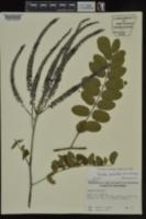 Amorpha paniculata image