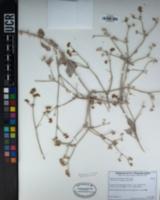 Eriogonum nummulare image