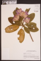Rhododendron catawbiense image