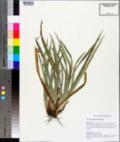 Carex laxiculmis image