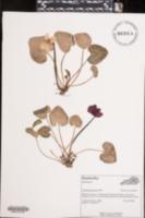 Cyclamen persicum image