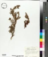 Image of Juniperus cedrus