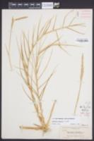 Sporobolus virginicus image