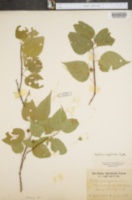 Image of Celtis rugosa