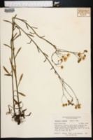 Image of Erigeron ramosus
