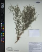 Image of Cryptantha racemosa