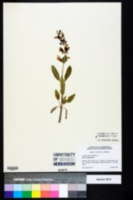 Salvia officinalis image