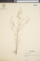 Image of Polanisia tenuifolia