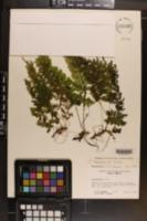 Cystopteris membranifolia image