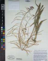 Boechera californica image