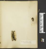 Chaetosphaerella phaeostroma image