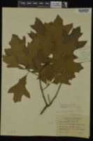 Quercus x garlandensis image