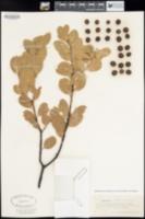 Arctostaphylos elegans image