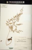 Davallia chaerophylloides image