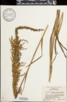 Image of Stenanthium gramineum