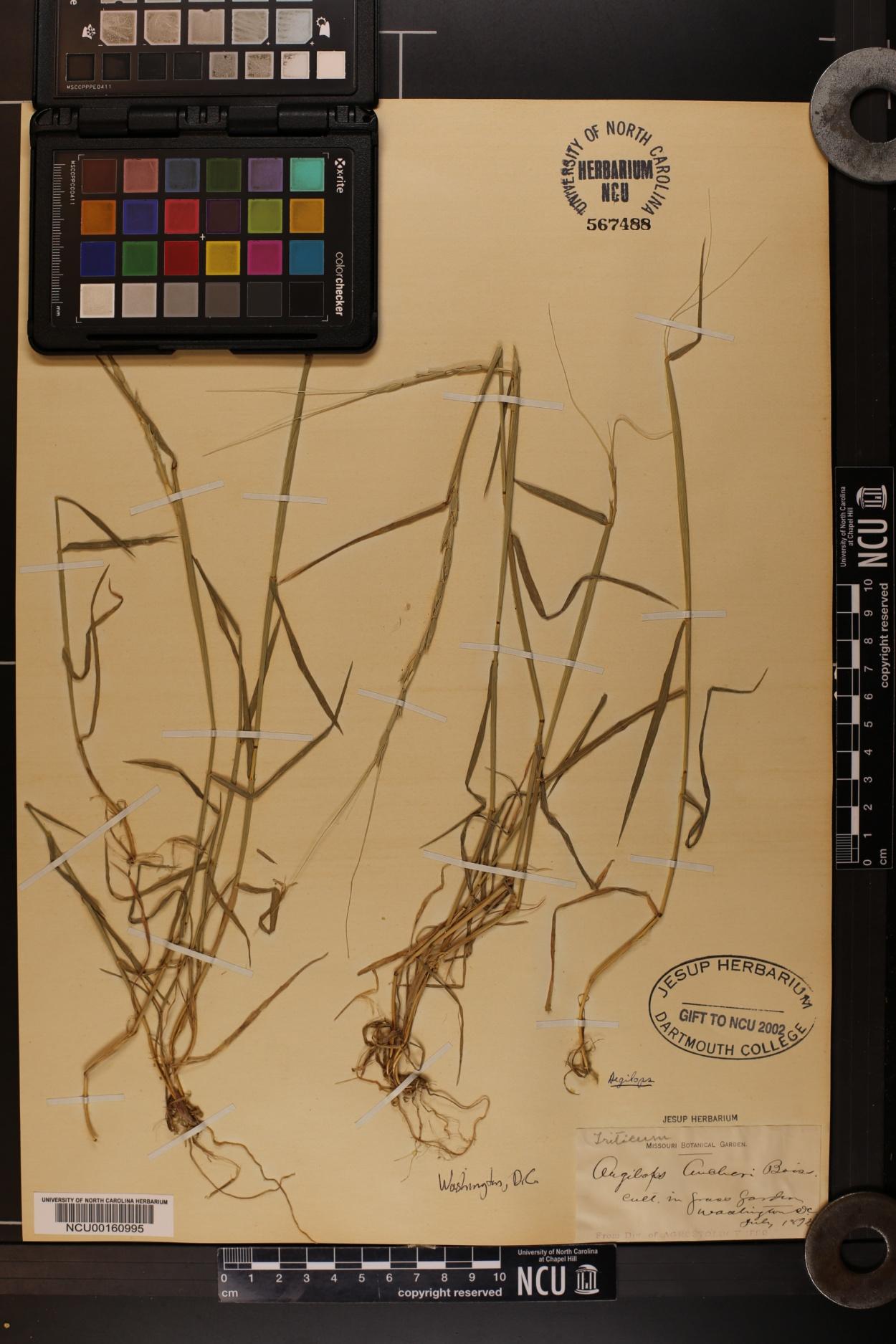 Aegilops aucheri image