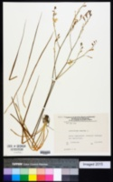 Anthericum ramosum image