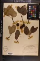 Image of Malus platycarpa