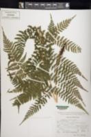 Image of Athyrium dombei