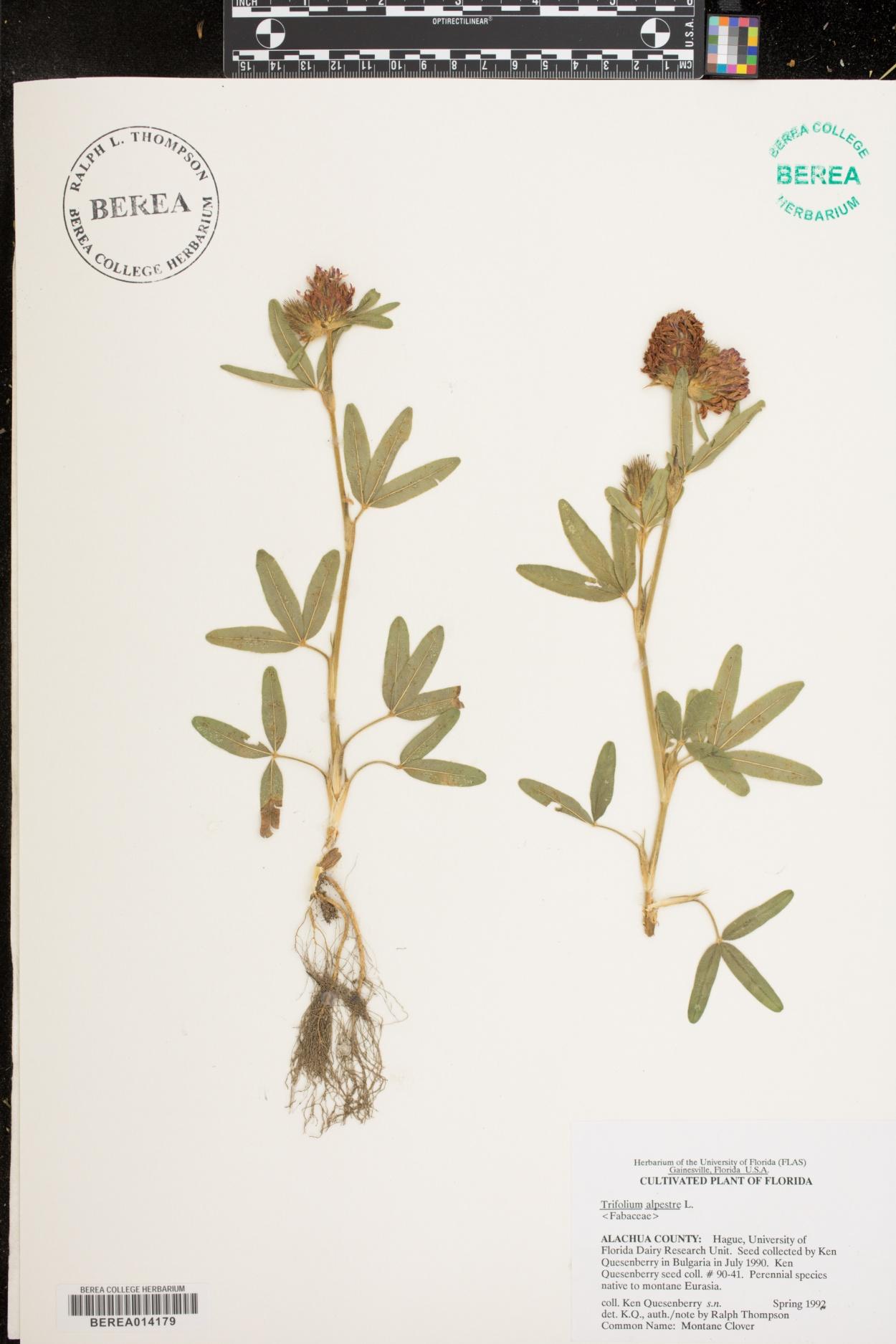 Trifolium alpestre image